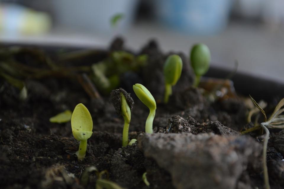 growning seedlings