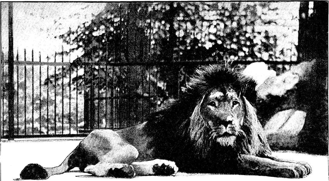 Halftone photograph of a lion in a zoo from The Graphic